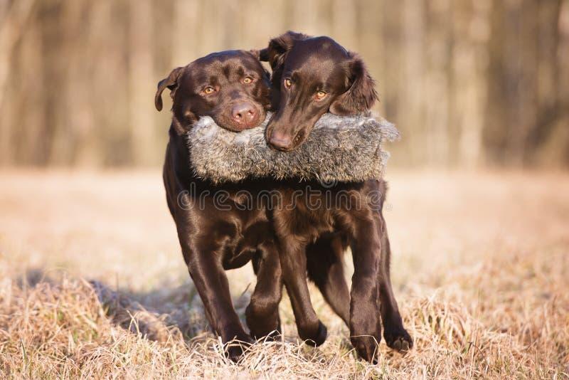 Δύο σκυλιά κυνηγιού που φέρνουν ένα παιχνίδι από κοινού στοκ εικόνα με δικαίωμα ελεύθερης χρήσης