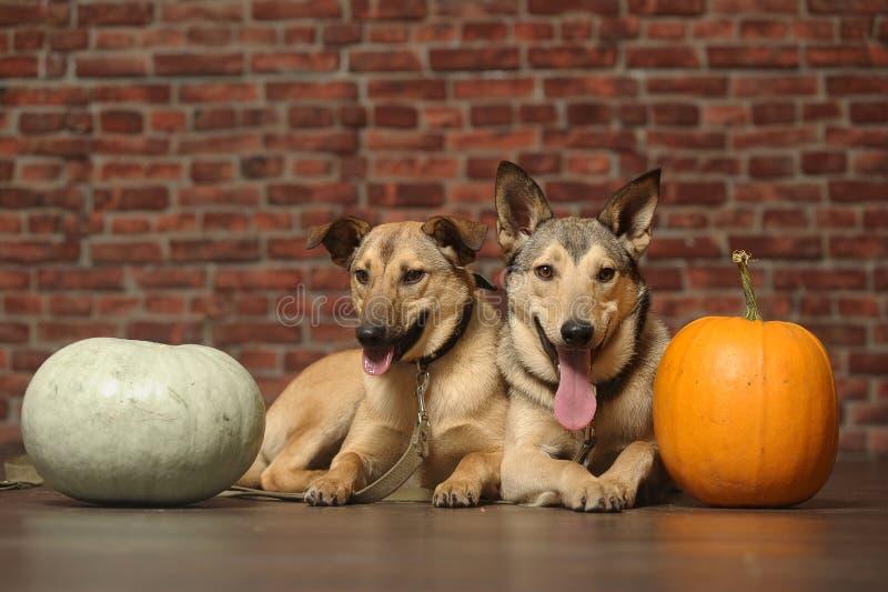 Δύο σκυλιά με την κολοκύθα στοκ εικόνα