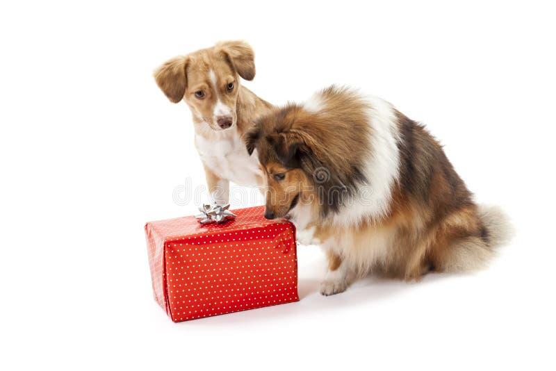 Δύο σκυλιά που εξετάζουν το κιβώτιο δώρων στοκ φωτογραφίες