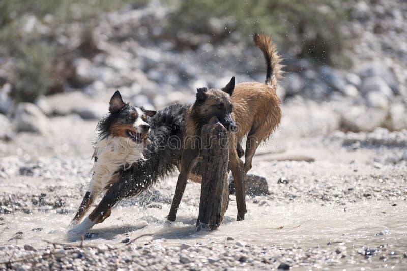 Δύο σκυλιά που παίζουν με ένα μεγάλο ξύλο στοκ εικόνες