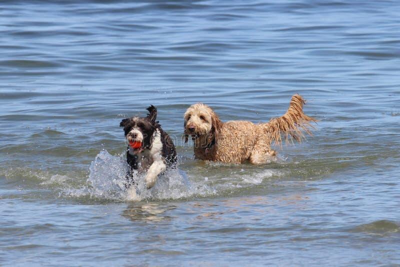 Δύο σκυλιά που παίζουν την ευρύτητα στοκ εικόνα