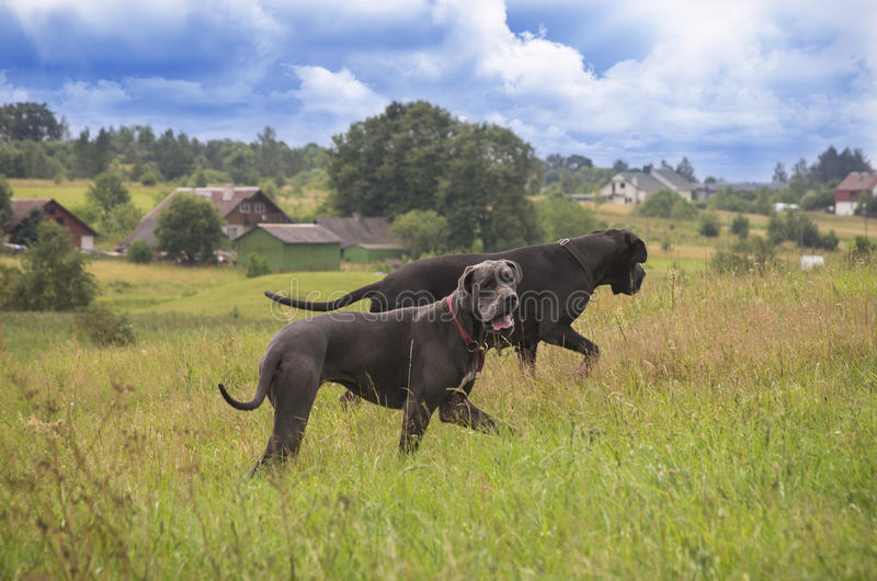 Δύο σκυλιά που περπατούν στο θερινό λιβάδι στοκ φωτογραφίες με δικαίωμα ελεύθερης χρήσης