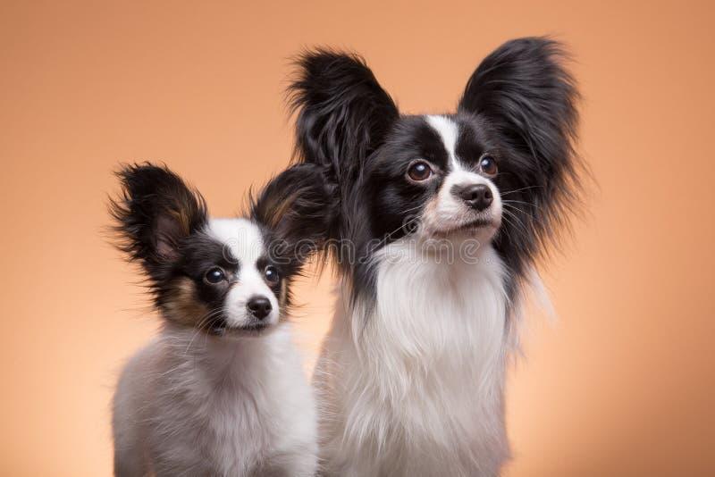 Δύο σκυλιά papillon στο ρόδινο υπόβαθρο στοκ εικόνα