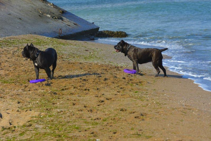 Δύο σκυλιά Rottweiler στο νερό με το παιχνίδι θάλασσας με ένα παιχνίδι ι στοκ φωτογραφίες με δικαίωμα ελεύθερης χρήσης