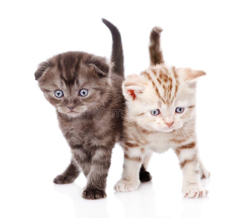 Δύο σκωτσέζικα γατάκια η ανασκόπηση απομόνωσε το λευκό στοκ εικόνες