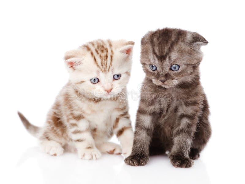 Δύο σκωτσέζικα γατάκια η ανασκόπηση απομόνωσε το λευκό στοκ φωτογραφία με δικαίωμα ελεύθερης χρήσης