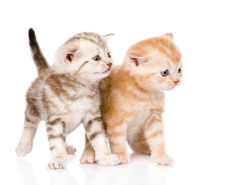 Δύο σκωτσέζικα γατάκια που κοιτάζουν μακριά η ανασκόπηση απομόνωσε το λευκό στοκ εικόνα