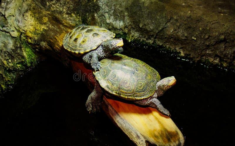 Δύο σπάζοντας απότομα χελώνες στο κούτσουρο στοκ φωτογραφία με δικαίωμα ελεύθερης χρήσης