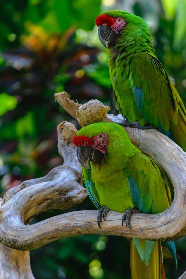 Δύο στρατιωτικοί παπαγάλοι Macaw που κάθονται στον κλάδο μπροστά από τους φοίνικες στοκ φωτογραφία
