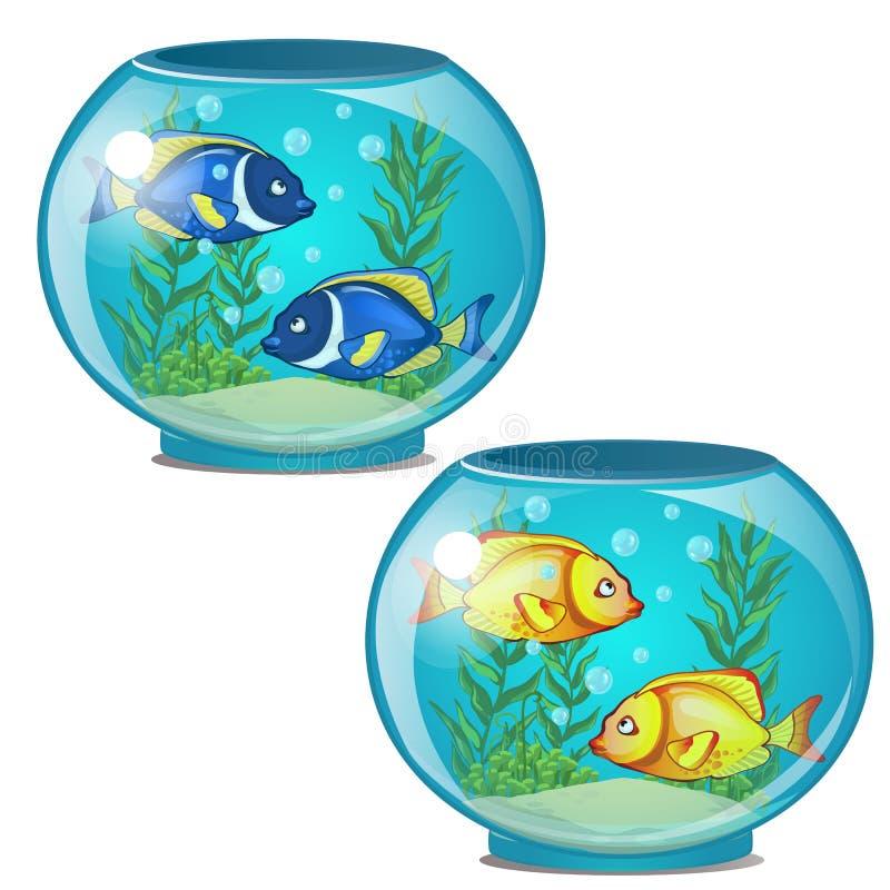 Δύο στρογγυλά ενυδρεία με τα χρυσά και μπλε τροπικά ψάρια και το φύκι απεικόνιση αποθεμάτων
