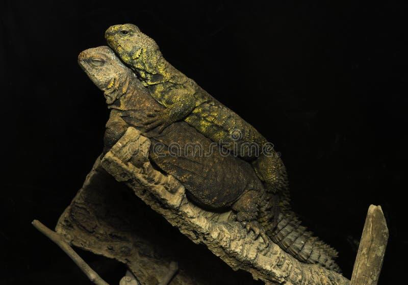 Δύο σύντροφοι iguana ερήμων που βρίσκονται μαζί σε έναν κλάδο δέντρων στοκ εικόνα