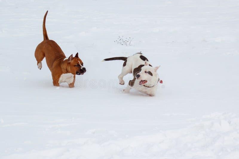 Δύο το αμερικανικό Staffordshire τεριέ puppys παίζει σε ένα άσπρο χιόνι Επτά μηνών παλαιός στοκ φωτογραφίες με δικαίωμα ελεύθερης χρήσης