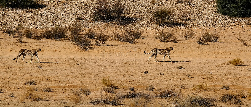 Δύο τσιτάχ που κινούνται στο ξηρό τοπίο στην έρημο της Καλαχάρης στο διασυνοριακό πάρκο β Kgalagadi στοκ φωτογραφία