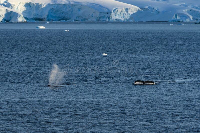Δύο φάλαινες Humpback που βουτούν κάτω στοκ εικόνα