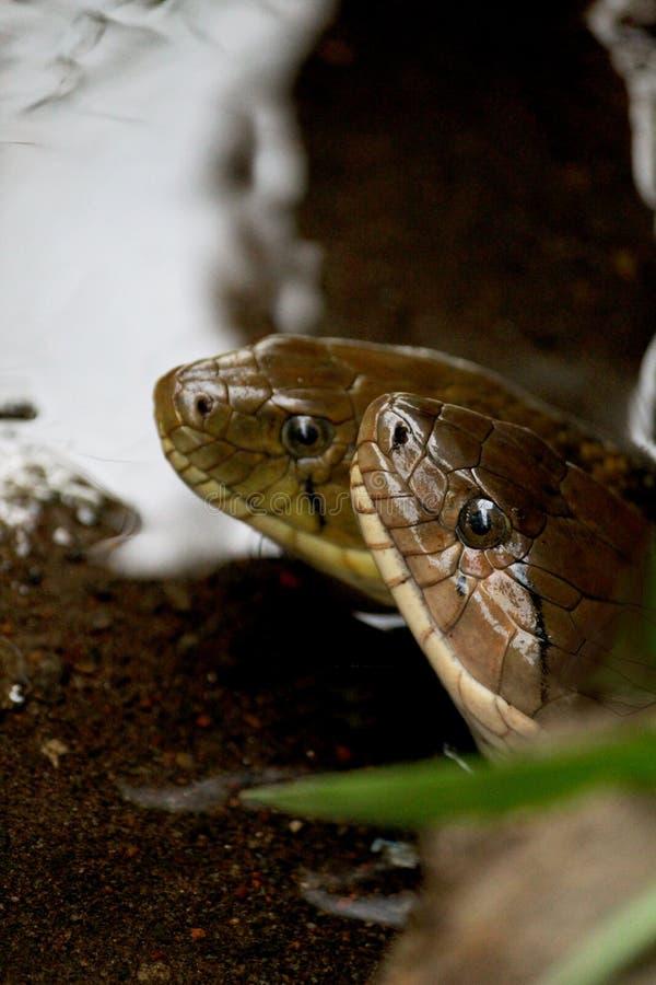Δύο φίδια που κάνουν την αγάπη στο νερό στοκ εικόνα