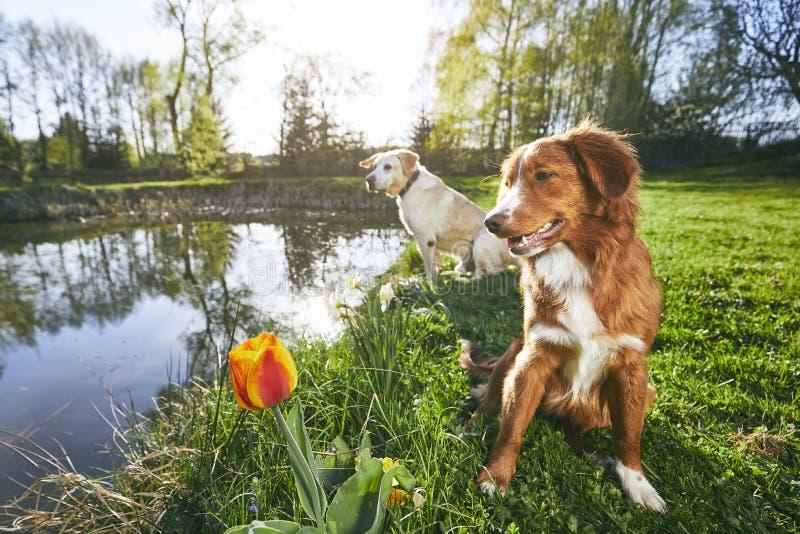 Δύο φιλικά σκυλιά στη θερινή φύση στοκ εικόνες
