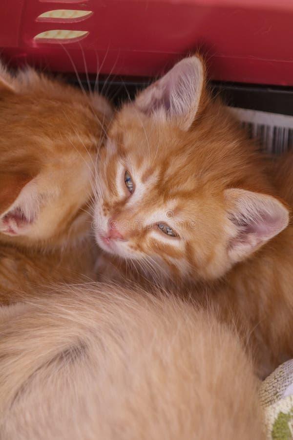 Δύο χαριτωμένα μικρά γατάκια πιπεροριζών κοιμούνται στο μαλακό κάλυμμα στοκ εικόνα με δικαίωμα ελεύθερης χρήσης