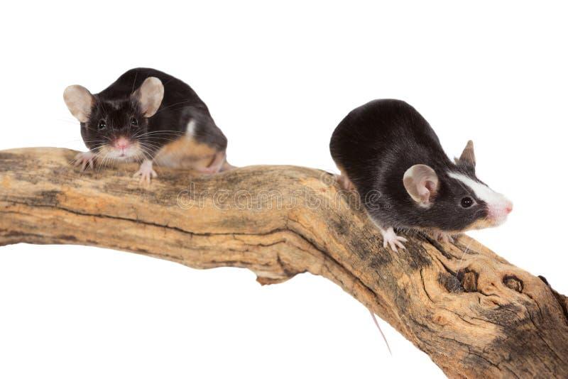Δύο χαριτωμένα μικρά ποντίκια σε ένα κούτσουρο στοκ φωτογραφία
