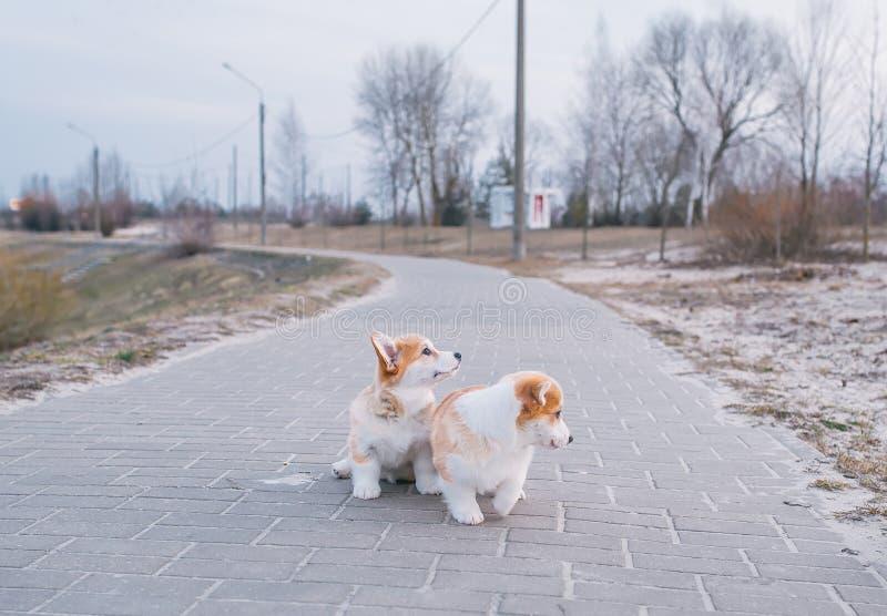 Δύο χαριτωμένα ουαλλέζικα κουτάβια Corgi στον περίπατο στο πάρκο στοκ εικόνα με δικαίωμα ελεύθερης χρήσης