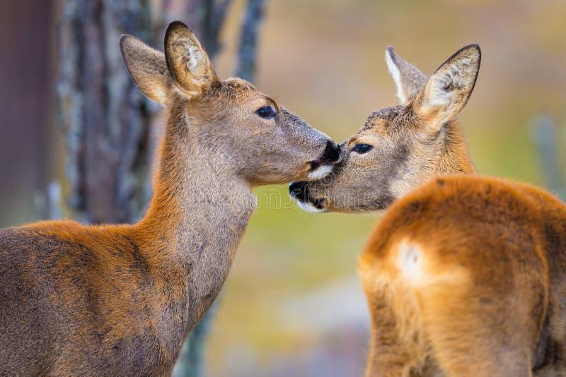 Δύο χαριτωμένα deers αυγοτάραχων στο δάσος στην πτώση στοκ εικόνες