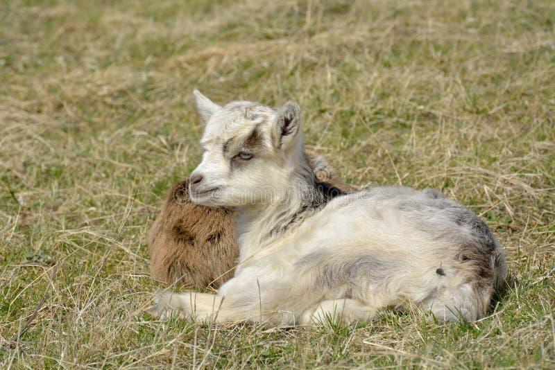 Δύο χαριτωμένα goatlings υπαίθρια στοκ εικόνα