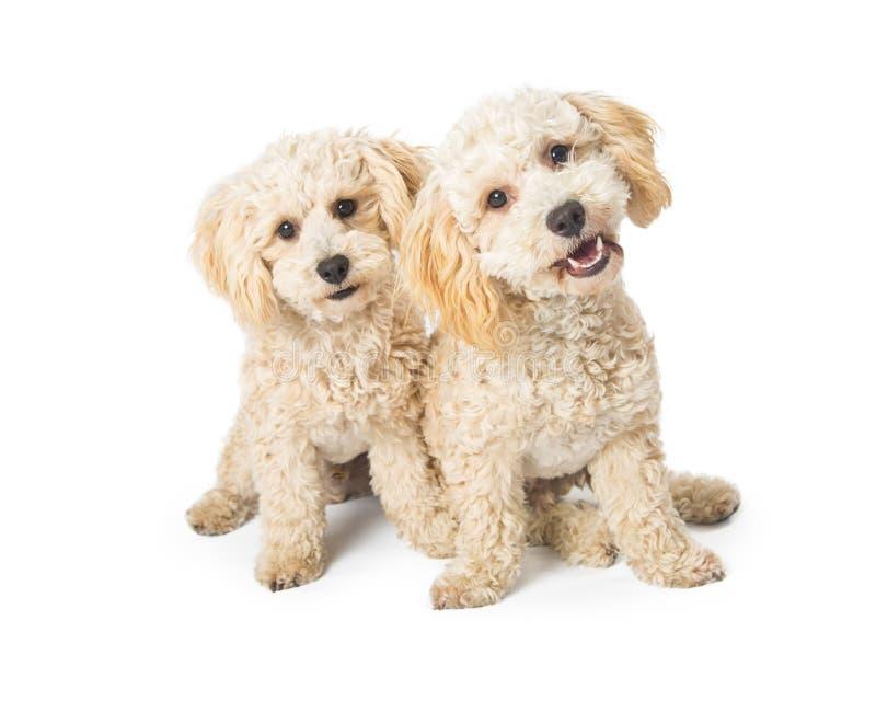 Δύο χαριτωμένα Poodle σκυλιά διασταύρωσης στο λευκό στοκ εικόνες