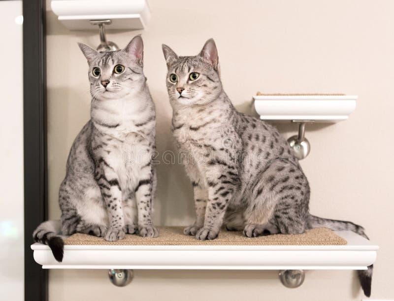 Δύο χαριτωμένες αιγυπτιακές γάτες Mau που κάθονται σε ένα ράφι στοκ φωτογραφίες