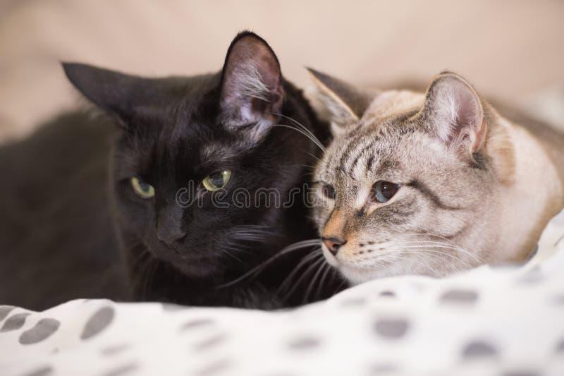 Δύο χαριτωμένες εσωτερικές κοντές γάτες τρίχας αγκαλιάζουν στοργικά το ένα με το άλλο στοκ φωτογραφία με δικαίωμα ελεύθερης χρήσης