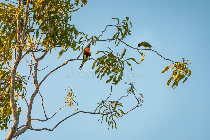 Δύο χαριτωμένοι παπαγάλοι Lorikeet ουράνιων τόξων σε ένα δέντρο γόμμας στο ηλιοβασίλεμα στοκ εικόνες με δικαίωμα ελεύθερης χρήσης