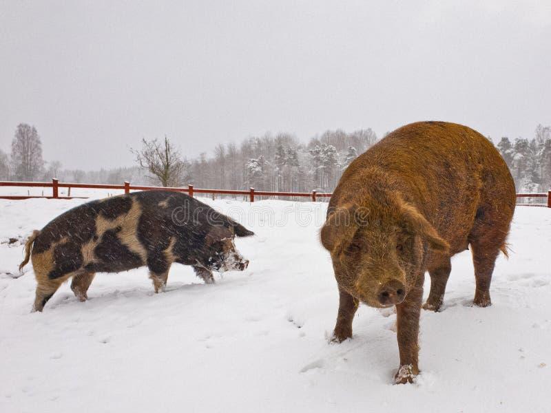 Δύο χαριτωμένοι χοίροι στο χιόνι στοκ εικόνες