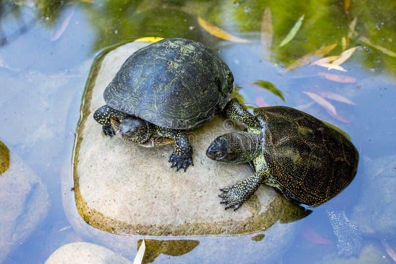 Δύο χελώνες στην πέτρα στον ποταμό παίρνουν θερμές στο sun_ στοκ εικόνες με δικαίωμα ελεύθερης χρήσης