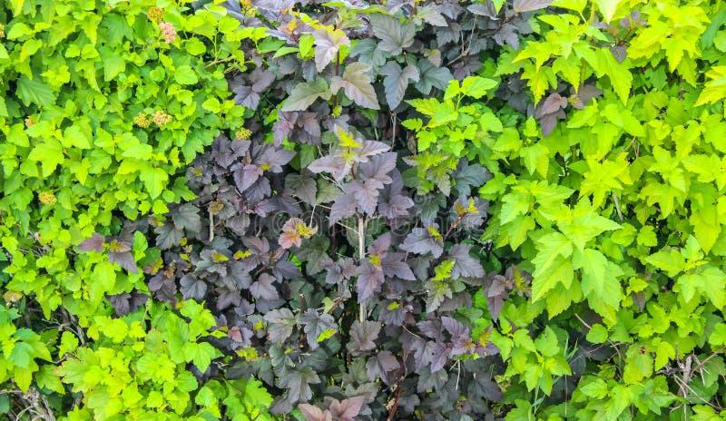 Δύο-χρωματισμένα φύλλα του διαχωριστικού φράχτη στοκ φωτογραφία με δικαίωμα ελεύθερης χρήσης