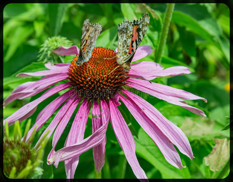 Δύο χρωματισμένη γυναικεία πεταλούδα σε ένα coneflower στοκ εικόνες
