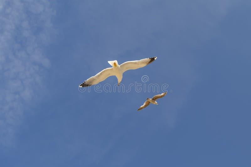 Δύο όμορφα seagulls πετούν ενάντια στο μπλε ουρανό με cirrus τα σύννεφα στοκ εικόνες με δικαίωμα ελεύθερης χρήσης