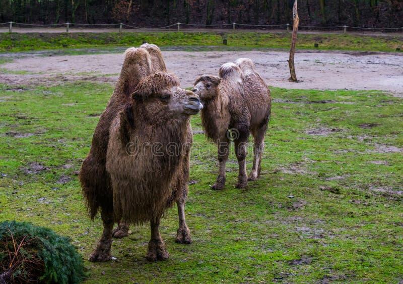 Δύο όμορφες άσπρες βακτριανές καμήλες μαζί σε ένα λιβάδι, ένα ενήλικο και ένα νεανικό, ζωικό οικογενειακό πορτρέτο στοκ εικόνες