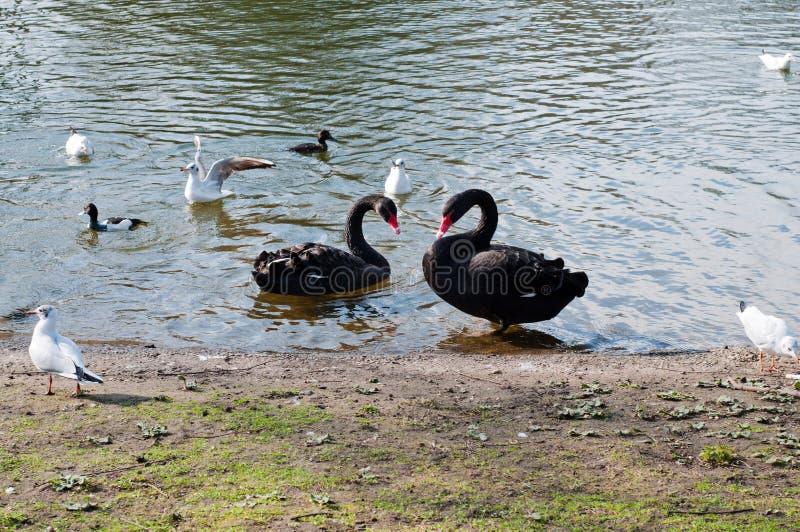 Δύο blackswans στη λίμνη στοκ εικόνα με δικαίωμα ελεύθερης χρήσης