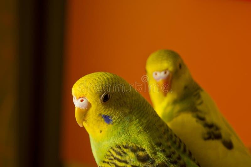 Δύο budgerigars στοκ εικόνες με δικαίωμα ελεύθερης χρήσης