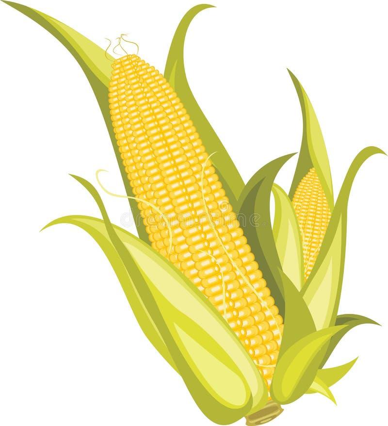 Δύο corncobs που απομονώνονται στο λευκό ελεύθερη απεικόνιση δικαιώματος