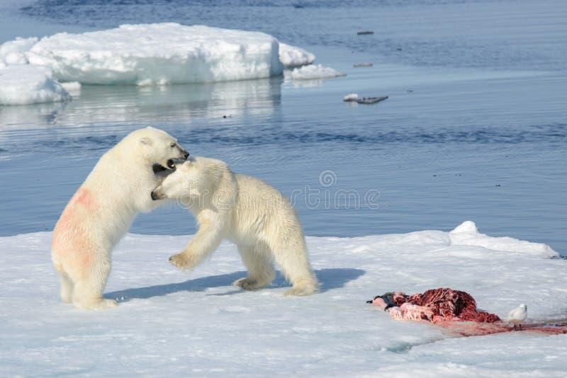 Δύο cubs πολικών αρκουδών που παίζουν μαζί στον πάγο στοκ εικόνες με δικαίωμα ελεύθερης χρήσης