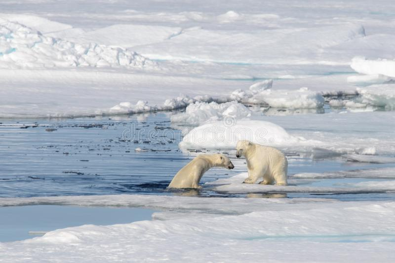 Δύο cubs πολικών αρκουδών που παίζουν μαζί στον πάγο στοκ φωτογραφία με δικαίωμα ελεύθερης χρήσης
