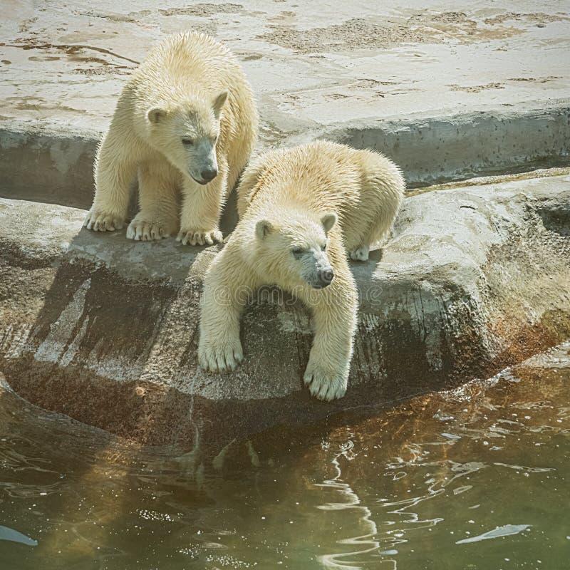 Δύο cubs πολικών αρκουδών στοκ εικόνες με δικαίωμα ελεύθερης χρήσης