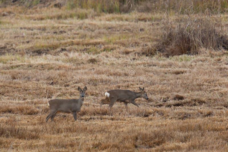 Δύο deers αυγοτάραχων που στέκονται στο λιβάδι στοκ εικόνες