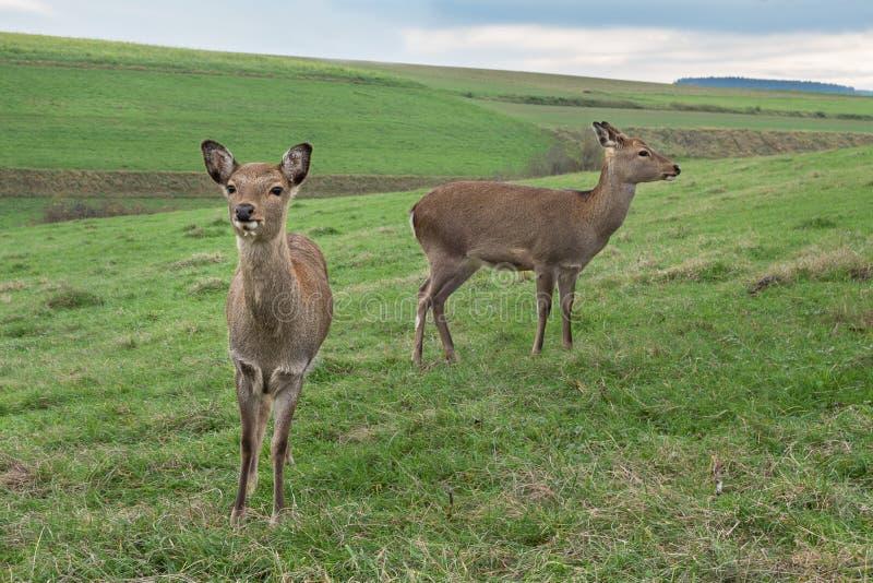 Δύο deers στοκ φωτογραφίες με δικαίωμα ελεύθερης χρήσης