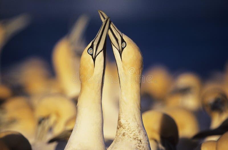 Δύο Gannets φλερτάρισμα κοντά στην αποικία στοκ φωτογραφίες