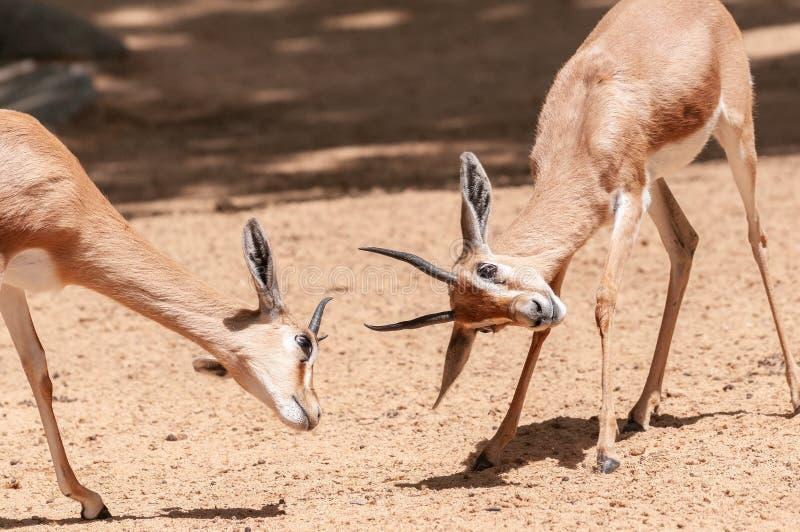 Δύο gazelles παλεύουν στην άμμο στοκ εικόνες