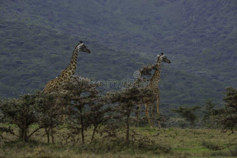 Δύο Giraffes στον κρατήρα Ngorongoro στοκ εικόνες
