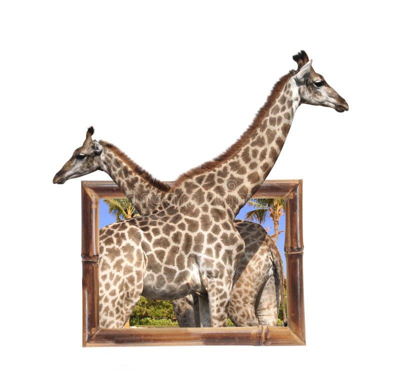 Δύο giraffes στο πλαίσιο μπαμπού με την τρισδιάστατη επίδραση στοκ φωτογραφίες