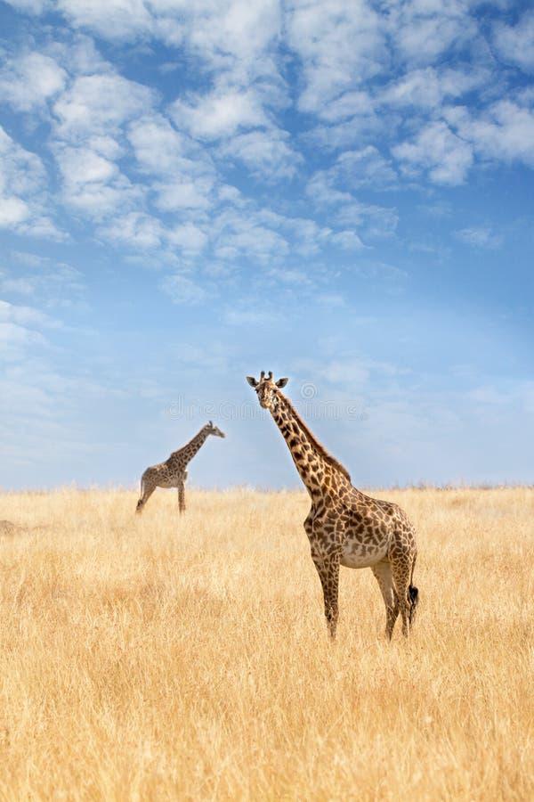 Δύο giraffes στο Masai Mara στοκ εικόνα με δικαίωμα ελεύθερης χρήσης