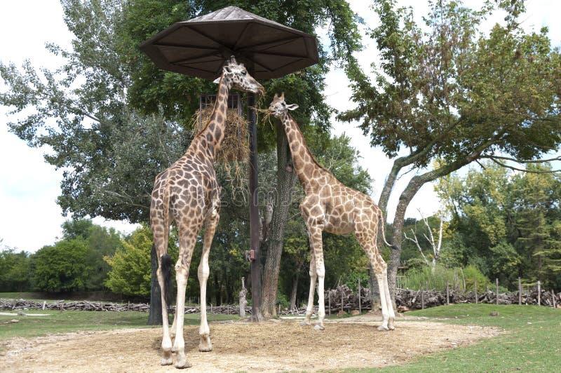 Δύο giraffes τρώνε το σανό στο ζωολογικό κήπο στοκ φωτογραφία με δικαίωμα ελεύθερης χρήσης
