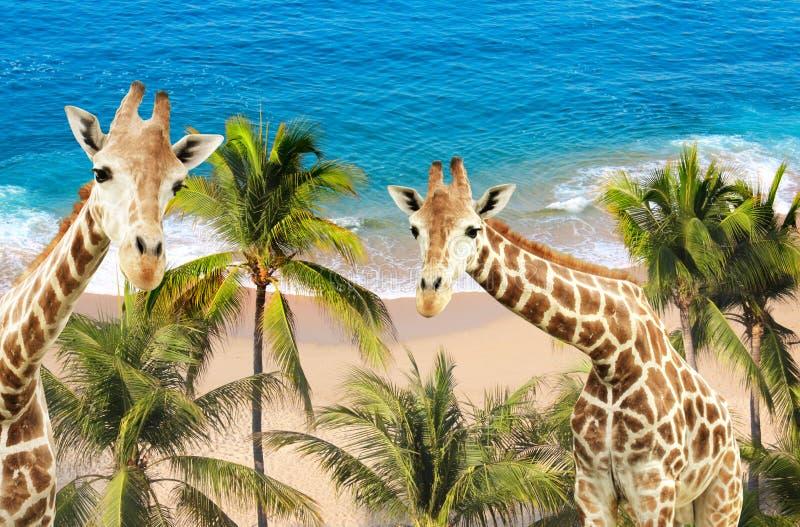 Δύο giraffes, φοίνικες, ωκεάνιες κύματα και παραλία στοκ εικόνα με δικαίωμα ελεύθερης χρήσης